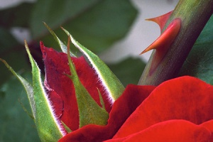red-rose-thorn-jpg